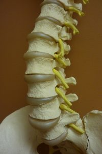 Corps vertébraux (blocs beiges), disques (entre les corps vertébraux) et une partie des racines nerveuses (cordons jaunes).