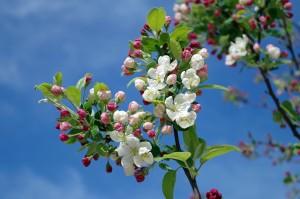 apple-blossom-173566_1280