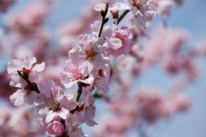 japanese-cherry-trees-3275415_1280